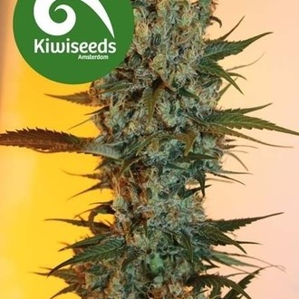 Auto Power Plant (Kiwi Seeds) feminized