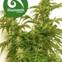 Little Dipper (Kiwi Seeds) feminized