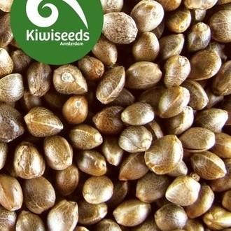 Outdoor Mix (Kiwi Seeds) feminized