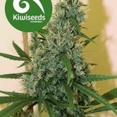 South Star (Kiwi Seeds) feminized