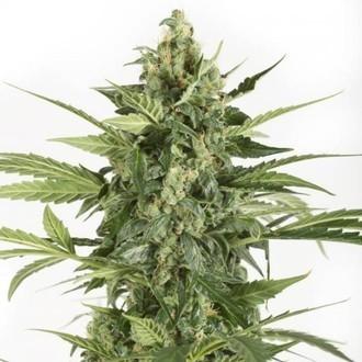 Blue Cheese Autoflowering (Dinafem) feminized