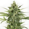 Blue Cheese Autoflowering (Dinafem) feminized