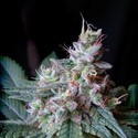Cream Caramel - F1 Fast Version (Sweet Seeds) feminized