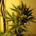 CBD Shark Shock (CBD Crew) feminized