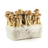 100% Mycelium Kit 'Vietnam' (Supa Gro)