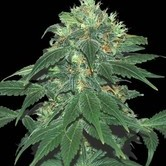 Punky Lion (Samsara Seeds) feminized