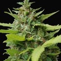 Kiss Dragon (Samsara Seeds) feminized