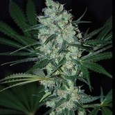 Green Love Potion (Samsara Seeds) feminized