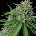 Yumbolt 47 (World Of Seeds) feminized