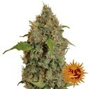 Chronic Thunder (Barney's Farm) feminized