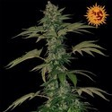 Grape Muerte (Barney's Farm) feminized