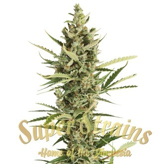 7th Wave (Super Strains) feminized