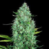 Serious 6 (Serious Seeds) feminized