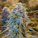Blue Dream (Humboldt Seeds) feminized