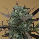 ChemDawg (Humboldt Seeds) feminized