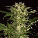 Lemon Juice Express Auto (Humboldt Seeds) feminized