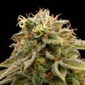 Lemon Thai Kush (Humboldt Seeds) feminized