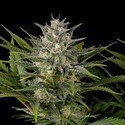 Pineapple Skunk (Humboldt Seeds) feminized