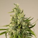 Trainwreck (Humboldt Seeds) feminized