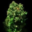 Cheese (VIP Seeds) feminized