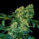 Chingis Khan (VIP Seeds) feminized