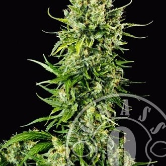 Auto Mass (Grass-O-Matic) feminized