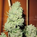 Channel + (Medical Seeds) feminized