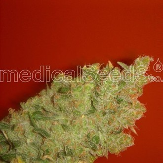 Jack La Mota (Medical Seeds) feminized