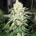 No Name (Medical Seeds) feminized