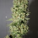 BCN Sour Diesel (Medical Seeds) feminized