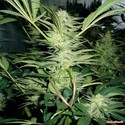 White Widow (Medical Seeds) feminized