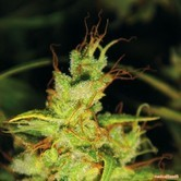 Bluehell (Medical Seeds)