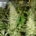 Malakoff (Medical Seeds) feminized