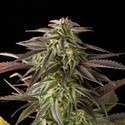 Blue Cheese (Dinafem) feminized