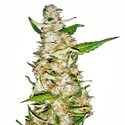 Skunk 1 Automatic (Sensi Seeds) feminized