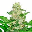 Super Skunk Automatic (Sensi Seeds) feminized