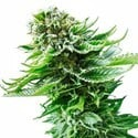 Northern Lights Automatic (Sensi Seeds) feminized