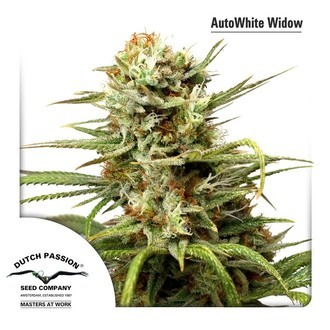 AutoWhite Widow (Dutch Passion) feminized
