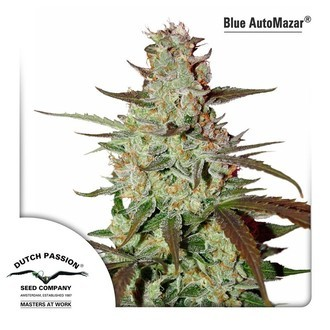 Blue AutoMazar (Dutch Passion) feminized