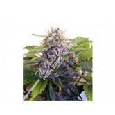 Purple Ryder (Joint Doctor) feminized