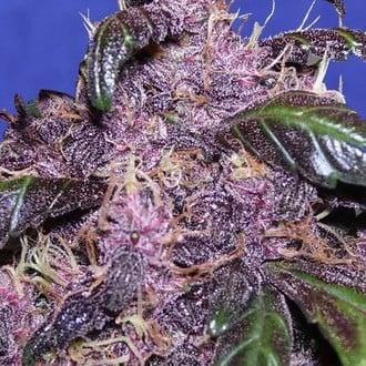 Auto Purple (Original Sensible Seeds) feminized