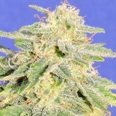 Auto JH (Original Sensible Seeds) feminized