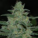Pure Kush (Original Sensible Seeds) feminized