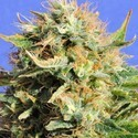 Chronic Lights (Original Sensible Seeds) feminized