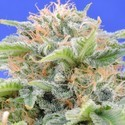 Black Gum (Original Sensible Seeds) feminized