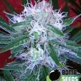 Auto Bomb (Bomb Seeds) feminized