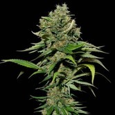 Excalibur (Eva Seeds) feminized