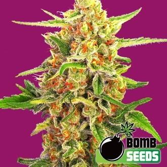 Cherry Bomb (Bomb Seeds) feminized