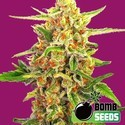 Cherry Bomb (Bomb Seeds) feminized