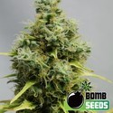 Big Bomb (Bomb Seeds) feminized